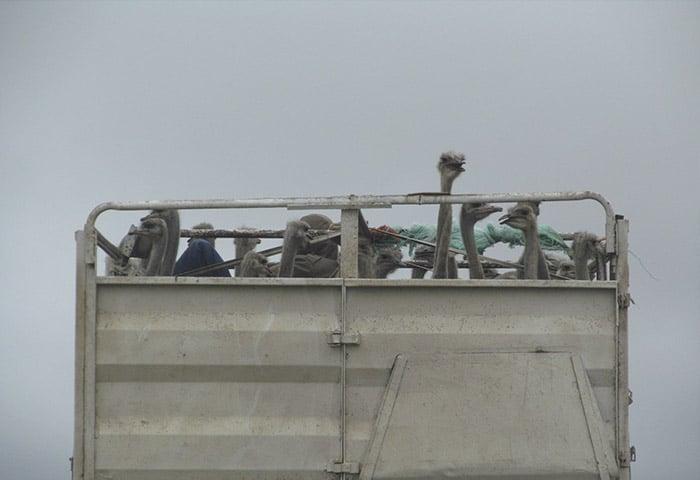 Carregamento de avestruzes na estrada | Foto por Ana Lucia Mendes Antonio