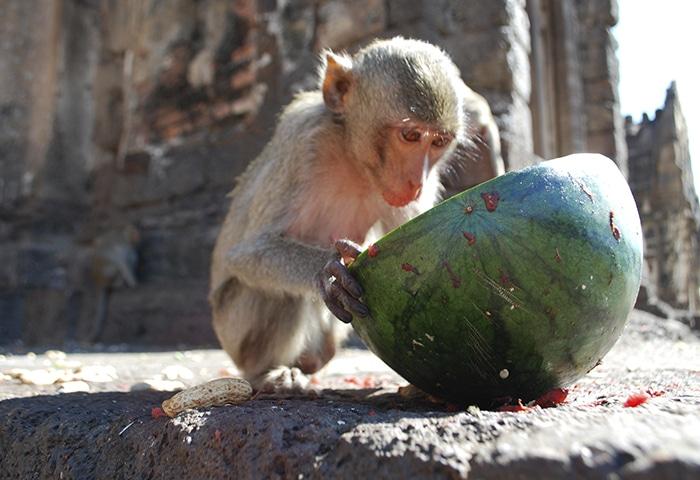 Macaco faz a festa comendo melancia | Foto por Chris Gusen