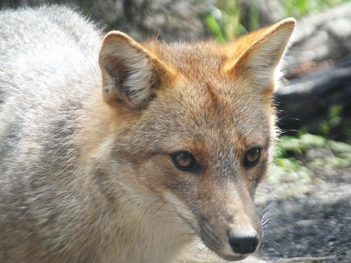 Raposa selvagem em | Foto por Sabrina Levensteinas