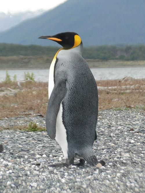 Passeio na Pinguinera: Pinguim imperador | Foto por Sabrina Levensteinas