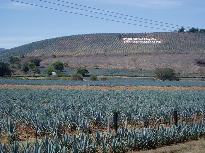 Campos de agave em Tequila, México | Foto por Mdd4696 via Wikimedia Commons