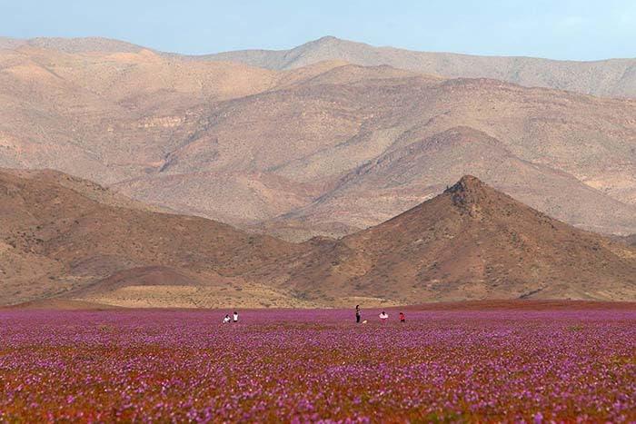 Flores no Deserto do Atacama