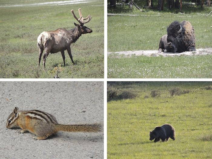 Cervos, búfalos, esquilos e ursos... animais que podem ser vistos na estrada e no parque | Foto Sabrina Levensteinas