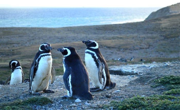 Família de pinguins | Beto Lisboa